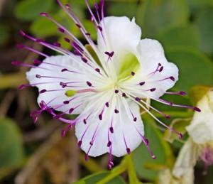 """Il suo bellissimo fiore è chiamato """"Orchidea del Mediterraneo"""""""
