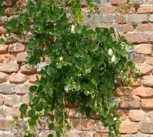 La pianta del cappero riesce a vivere nei punti più impensabili