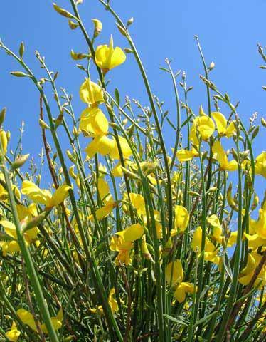 La ginestra in fiore con le sue piccolissime foglie