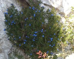 Blu di capri - Lithofora_pianta