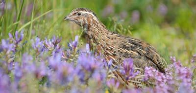 La quaglia è un uccello migratore che tascorre gli inverni in Nord Africa e le estati in centro-est Europa