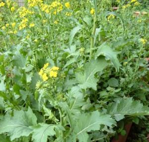 Passato il periodo di raccolta, le cime di rapa fiorite danno un tocco di colore giallo ai giardini primaverili