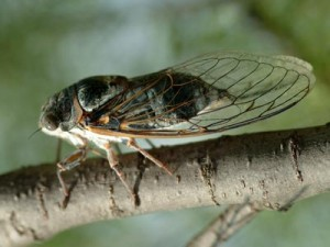 La cicala vive sulle chiome di pini e ulivi, nutrendosi della loro linfa
