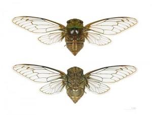 Al contrario di quanto si crede il canto della cicala non è prodotto da uno sfregamento ma da un organo apposito e complesso che possiede il maschio