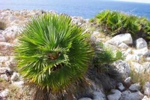 La palma nana fa parte del variegato gruppo di piante che compongono la macchia mediteranea
