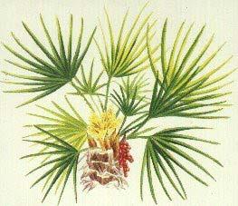 La palma nana è l'unico tipo di piante originario dell'Italia