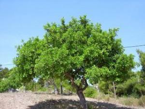 Il carrubo o sciuscella è una delle piante tipiche della vegetazione mediterranea
