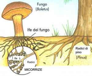 Schema che illustra lo scambio tra le radici degli alber e quelle (ife) del fungo