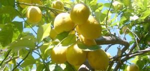 Originaio dell'India e del sud-est asiatico il limone ha trovato nel su Italia il clima ideale per diventare un simbolo della flora mediterranea