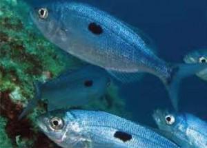 """La menola o """"mennella"""" vive in tutto il Mediterraneo e si spinge anche sulle coste orientali dell'Atlantico"""