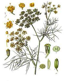 220px-foeniculum_vulgare_-_kohler-s_medizinal-pflanzen-148